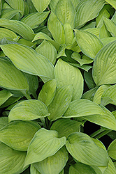 Gold Standard Hosta (Hosta 'Gold Standard') at Ritchie Feed & Seed Inc.