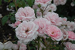 Bonica® Rose (Rosa 'Meidomonac') at Ritchie Feed & Seed Inc.