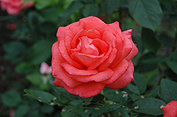 Tropicana Rose (Rosa 'Tropicana') at Ritchie Feed & Seed Inc.