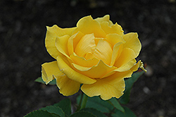 Midas Touch Rose (Rosa 'Midas Touch') at Ritchie Feed & Seed Inc.