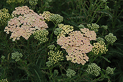 Summer Pastels Yarrow (Achillea millefolium 'Summer Pastels') at Ritchie Feed & Seed Inc.