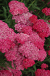 Saucy Seduction Yarrow (Achillea millefolium 'Saucy Seduction') at Ritchie Feed & Seed Inc.