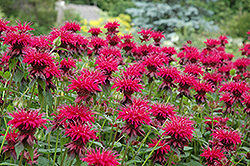 Raspberry Wine Beebalm (Monarda 'Raspberry Wine') at Ritchie Feed & Seed Inc.