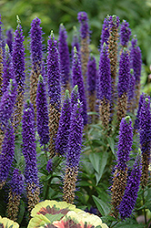 Royal Candles Speedwell (Veronica spicata 'Royal Candles') at Ritchie Feed & Seed Inc.