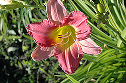Final Touch Daylily (Hemerocallis 'Final Touch') at Ritchie Feed & Seed Inc.
