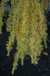 Varied Directions Larch (Larix decidua 'Varied Directions') at Ritchie Feed & Seed Inc.