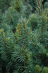 Citation Yew (Taxus x media 'Citation') at Ritchie Feed & Seed Inc.