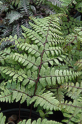 Eared Lady Fern (Athyrium otophorum) at Ritchie Feed & Seed Inc.