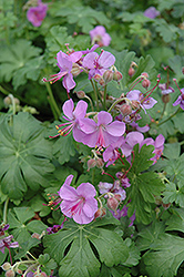 Cambridge Cranesbill (Geranium x cantabrigiense 'Cambridge') at Ritchie Feed & Seed Inc.