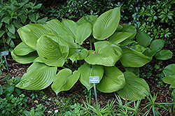 Sum and Substance Hosta (Hosta 'Sum and Substance') at Ritchie Feed & Seed Inc.