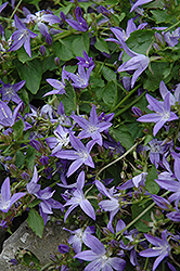 Serbian Bellflower (Campanula poscharskyana) at Ritchie Feed & Seed Inc.