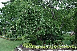 Weeping Mulberry (Morus alba 'Pendula') at Ritchie Feed & Seed Inc.