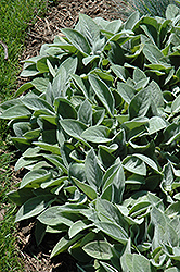 Giant Lamb's Ears (Stachys byzantina 'Big Ears') at Ritchie Feed & Seed Inc.