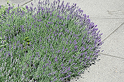 Munstead Lavender (Lavandula angustifolia 'Munstead') at Ritchie Feed & Seed Inc.