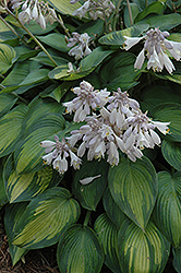 June Hosta (Hosta 'June') at Ritchie Feed & Seed Inc.