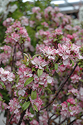Coralburst Flowering Crab (Malus 'Coralburst') at Ritchie Feed & Seed Inc.