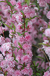 Double Pink Flowering Almond (Prunus glandulosa 'Rosea Plena') at Ritchie Feed & Seed Inc.