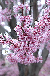 Eastern Redbud (Cercis canadensis) at Ritchie Feed & Seed Inc.