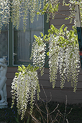 White Chinese Wisteria (Wisteria sinensis 'Alba') at Ritchie Feed & Seed Inc.