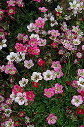 Purple Robe Saxifrage (Saxifraga x arendsii 'Purple Robe') at Ritchie Feed & Seed Inc.