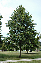Pin Oak (Quercus palustris) at Ritchie Feed & Seed Inc.
