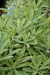 Ascot Rainbow Variegated Spurge (Euphorbia 'Ascot Rainbow') at Ritchie Feed & Seed Inc.