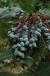 Oregon Grape (Mahonia aquifolium) at Ritchie Feed & Seed Inc.