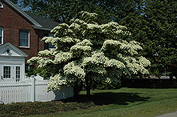 Chinese Dogwood (Cornus kousa) at Ritchie Feed & Seed Inc.