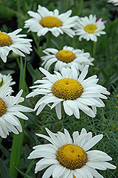 Amelia Shasta Daisy (Leucanthemum x superbum 'Amelia') at Ritchie Feed & Seed Inc.