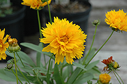 Sunray Tickseed (Coreopsis grandiflora 'Sunray') at Ritchie Feed & Seed Inc.