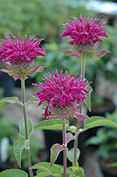 Purple Rooster Beebalm (Monarda 'Purple Rooster') at Ritchie Feed & Seed Inc.