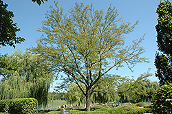 Skyline Honeylocust (Gleditsia triacanthos 'Skycole') at Ritchie Feed & Seed Inc.