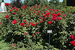 Linda Campbell Rose (Rosa 'Morten') at Ritchie Feed & Seed Inc.