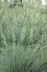 Elijah Blue Fescue (Festuca glauca 'Elijah Blue') at Ritchie Feed & Seed Inc.