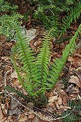 Deer Fern (Blechnum spicant) at Ritchie Feed & Seed Inc.