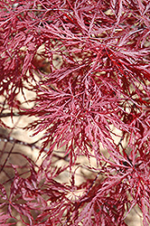 Red Dragon Japanese Maple (Acer palmatum 'Red Dragon') at Ritchie Feed & Seed Inc.
