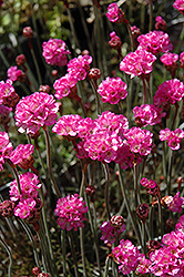 Red-leaved Sea Thrift (Armeria maritima 'Rubrifolia') at Ritchie Feed & Seed Inc.