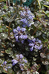 Mini Crisp Red Bugleweed (Ajuga reptans 'Mini Crisp Red') at Ritchie Feed & Seed Inc.