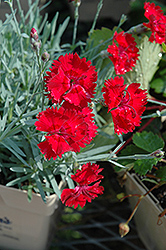 Fire Star Pinks (Dianthus 'Devon Xera') at Ritchie Feed & Seed Inc.