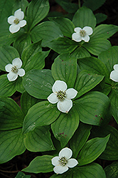 Bunchberry (Cornus canadensis) at Ritchie Feed & Seed Inc.