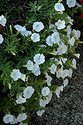 Noa White Calibrachoa (Calibrachoa 'Noa White') at Ritchie Feed & Seed Inc.
