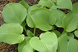 Fried Bananas Hosta (Hosta 'Fried Bananas') at Ritchie Feed & Seed Inc.