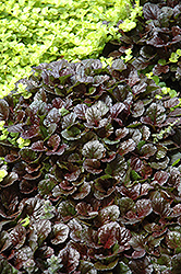 Black Scallop Bugleweed (Ajuga reptans 'Black Scallop') at Ritchie Feed & Seed Inc.