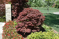 Rhode Island Red Japanese Maple (Acer palmatum 'Rhode Island Red') at Ritchie Feed & Seed Inc.