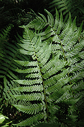 Dixie Wood Fern (Dryopteris x australis) at Ritchie Feed & Seed Inc.