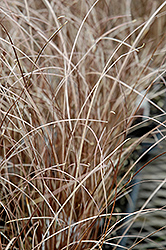 Leatherleaf Sedge (Carex buchananii) at Ritchie Feed & Seed Inc.