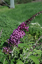 Buzz Pink Purple Butterfly Bush (Buddleia 'Buzz Pink Purple') at Ritchie Feed & Seed Inc.