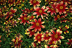 Route 66 Tickseed (Coreopsis verticillata 'Route 66') at Ritchie Feed & Seed Inc.