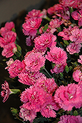 EverLast™ Orchid Pinks (Dianthus 'EverLast Orchid') at Ritchie Feed & Seed Inc.