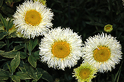 Real Galaxy Shasta Daisy (Leucanthemum x superbum 'Real Galaxy') at Ritchie Feed & Seed Inc.